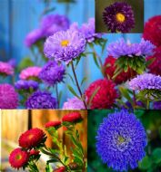 Aster Powder Puff 100 Seeds, Mixed Colours